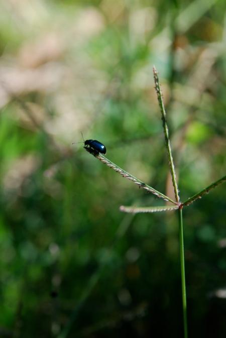 Brave beetle