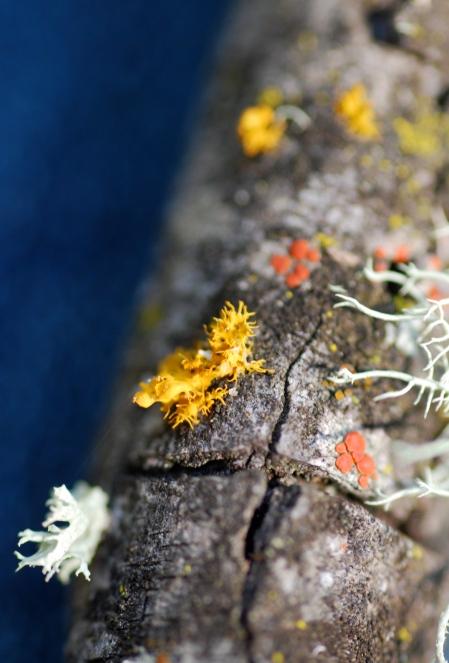 Lichen species